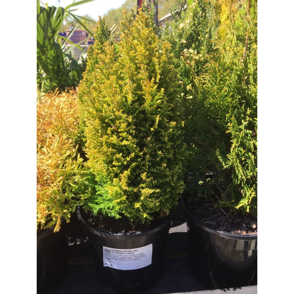 Chamaecyparis lawsoniana 'Ellwood's Gold' 3L
