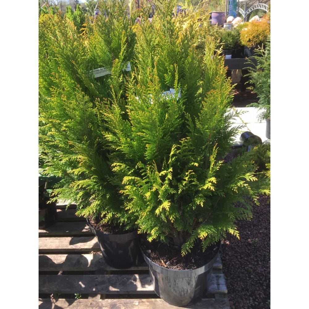 Chamaecyparis lawsoniana 'Broomhill Gold'