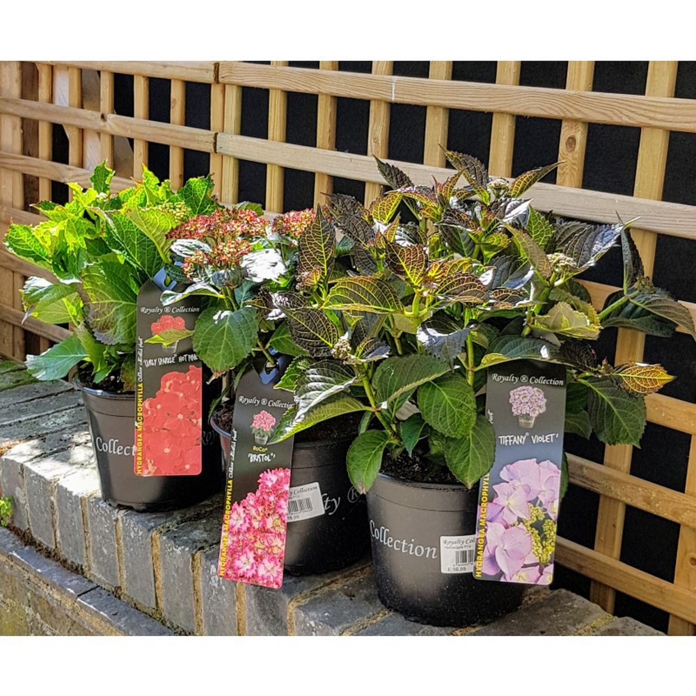 Hydrangea Royalty Collection - 20cm - Various Colours