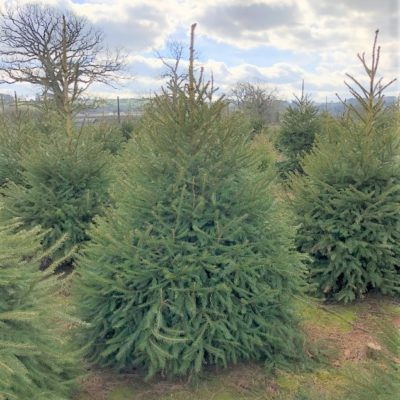 Norway Spruce 1.2m-1.5m (4ft-5ft)