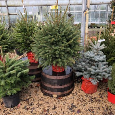 Norway Spruce Pot Grown 80-100cm (2.6ft-3ft)